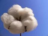 Cotone biologico per la realizzazione dei tessuti sostenibili Cangiari